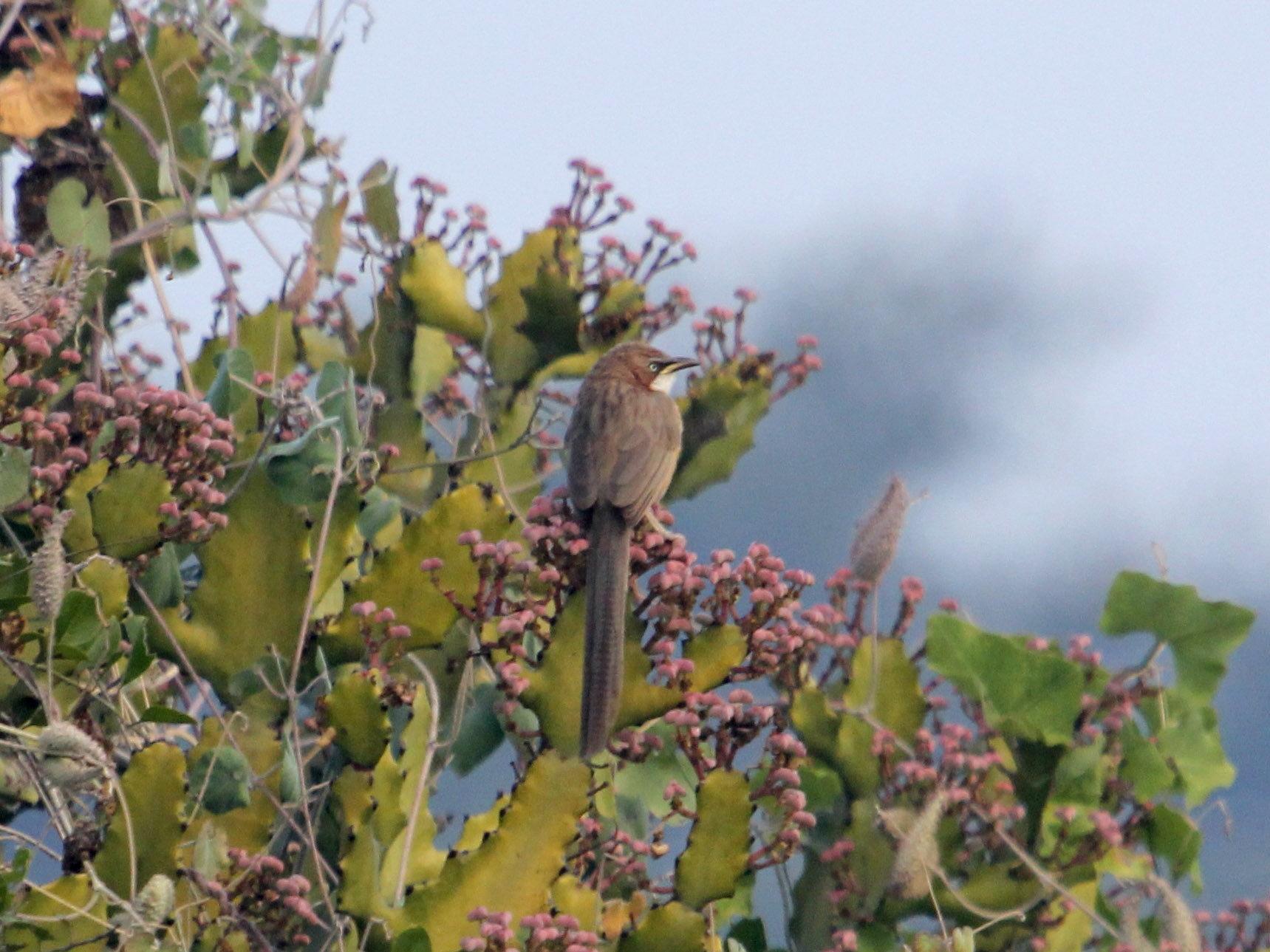 White-throated Babbler - John Bjorkman