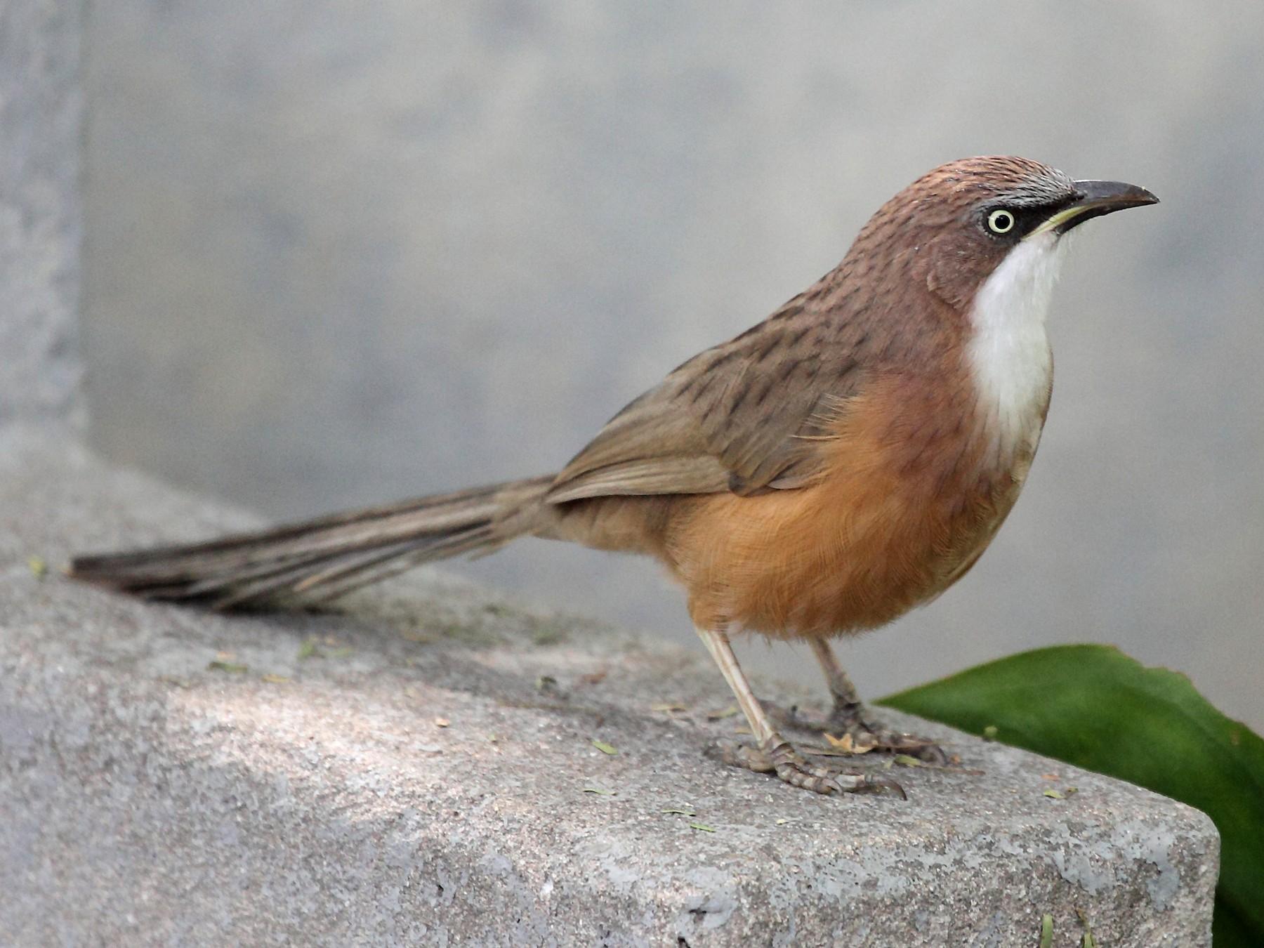 White-throated Babbler - Nigel Voaden