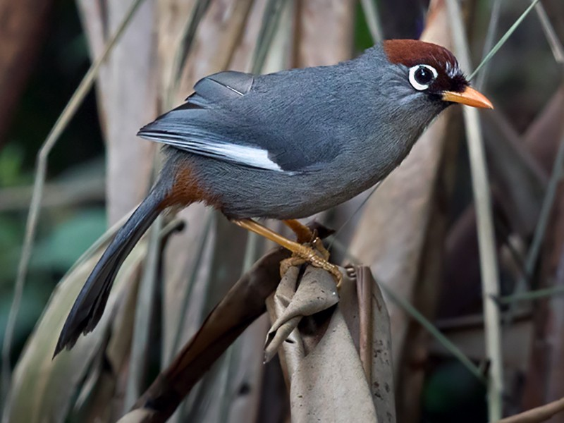 Chestnut-capped Laughingthrush - Lars Petersson