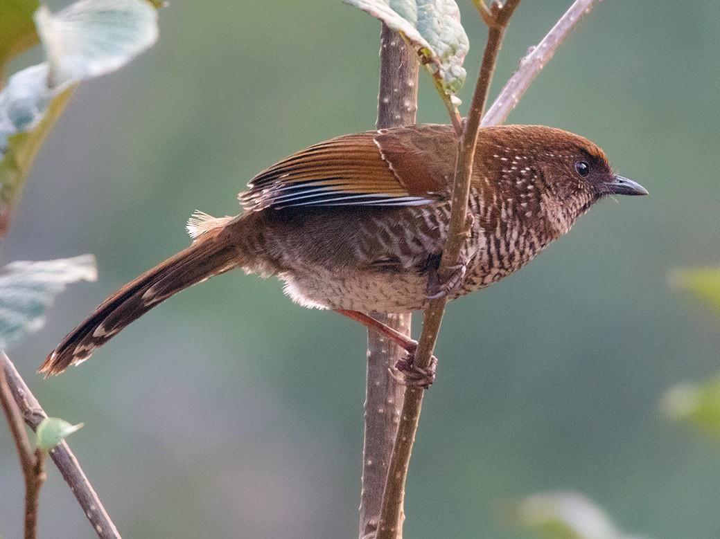 Brown-capped Laughingthrush - Ayuwat Jearwattanakanok