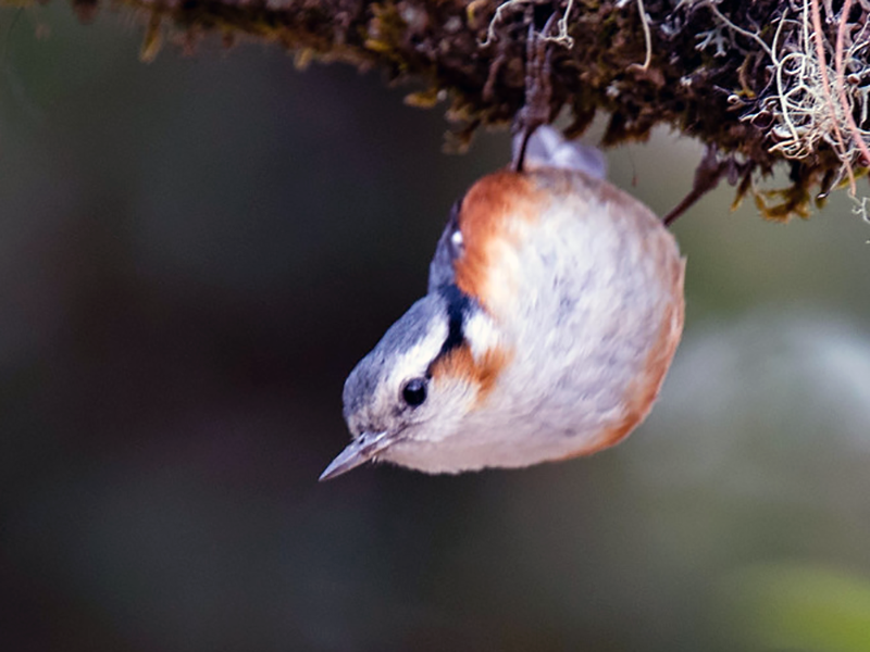 White-browed Nuthatch - Robert Tizard