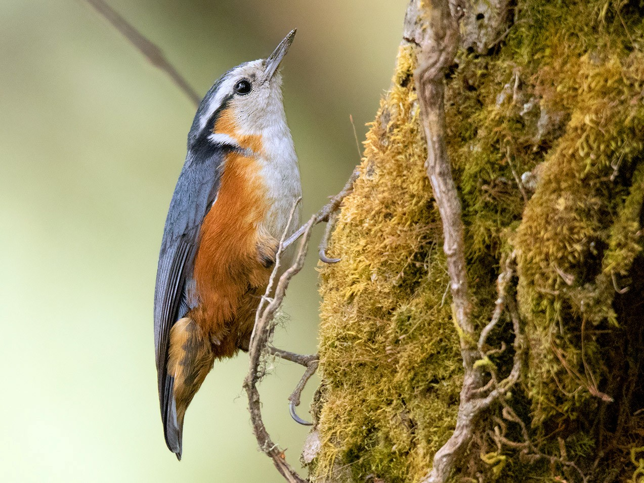 White-browed Nuthatch - Ayuwat Jearwattanakanok