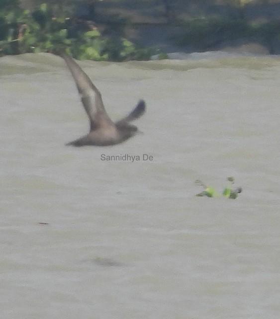 ©Sannidhya De - Short-tailed Shearwater