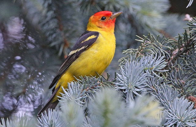 ©Tim Avery - Western Tanager