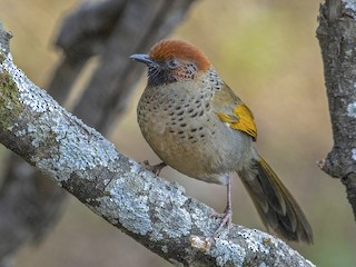- Chestnut-crowned Laughingthrush