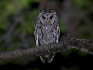 - Flammulated Owl