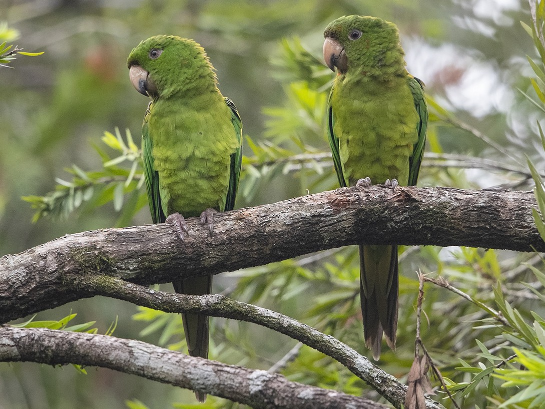 Pacific Parakeet - Niall D Perrins