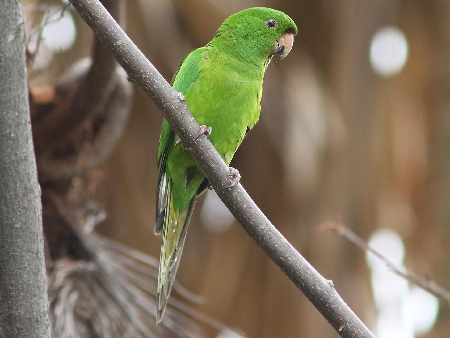 Pacific Parakeet - Amy McAndrews