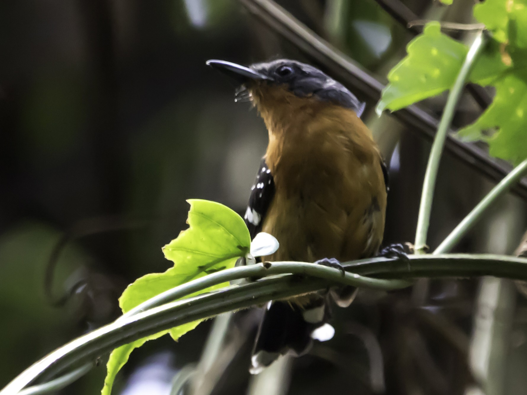 Dot-winged Antwren - Jorge Eduardo  Ruano