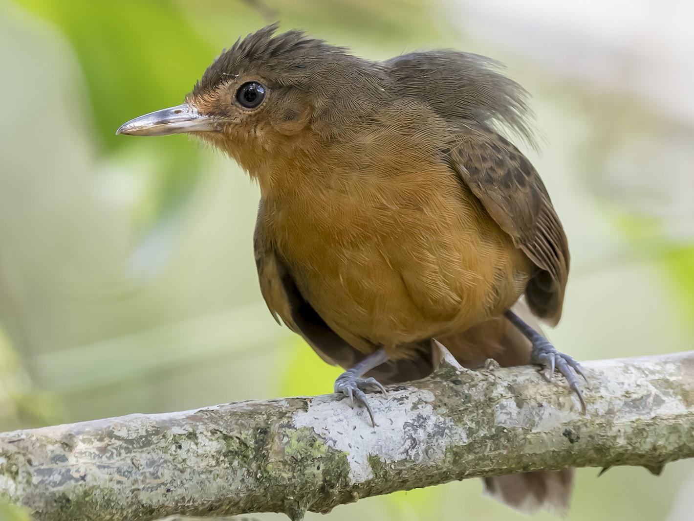 Dusky Antbird - fernando Burgalin Sequeria