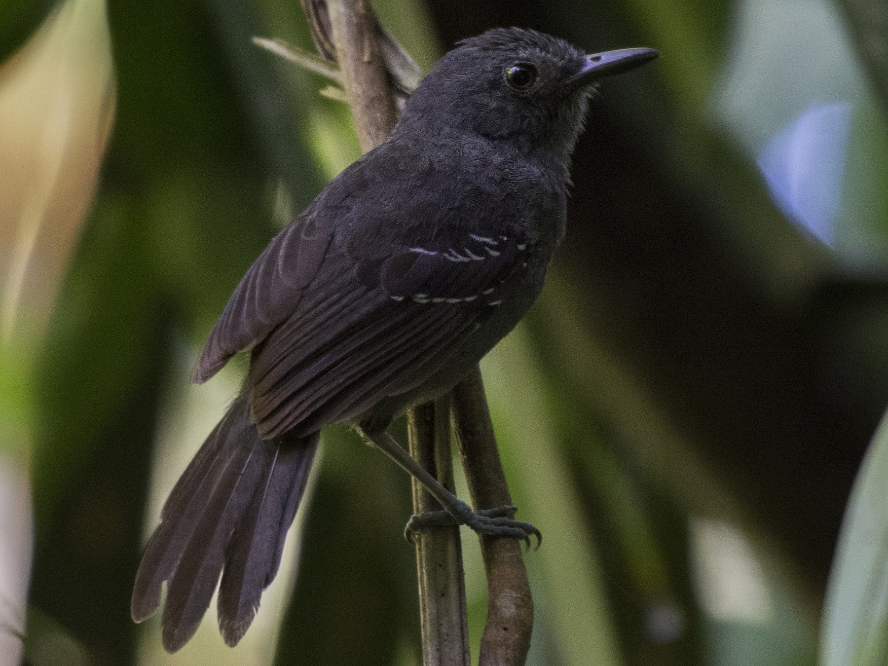 Dusky Antbird - Carlos Echeverría