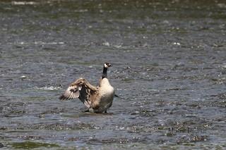 Canada Goose, ML238844121