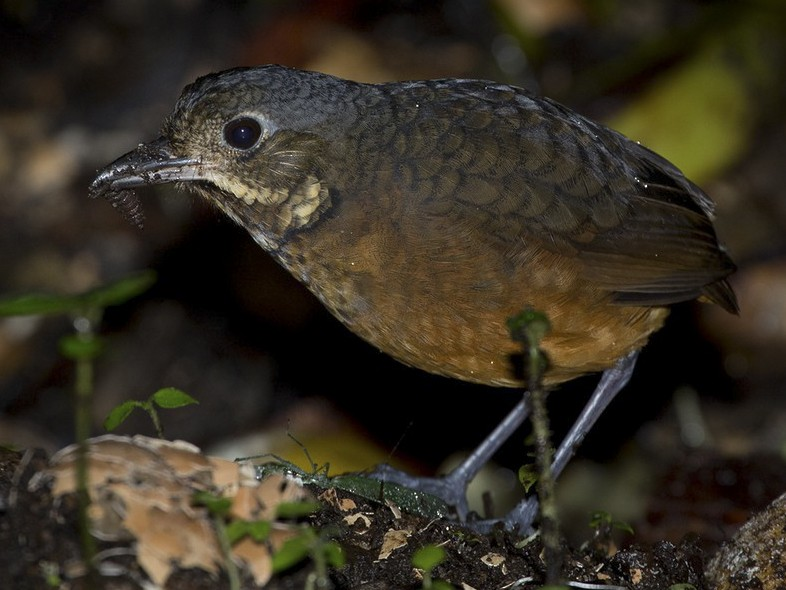 Scaled Antpitta - Lars Petersson