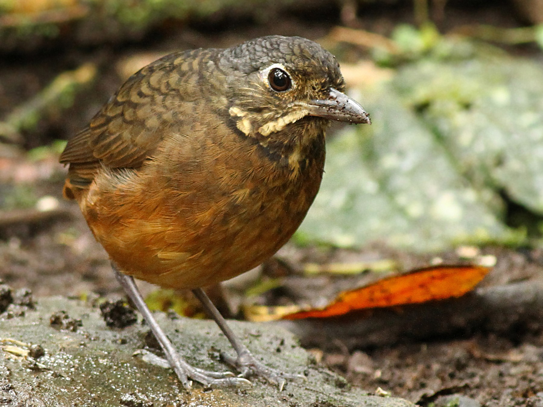 Scaled Antpitta - Luke Seitz
