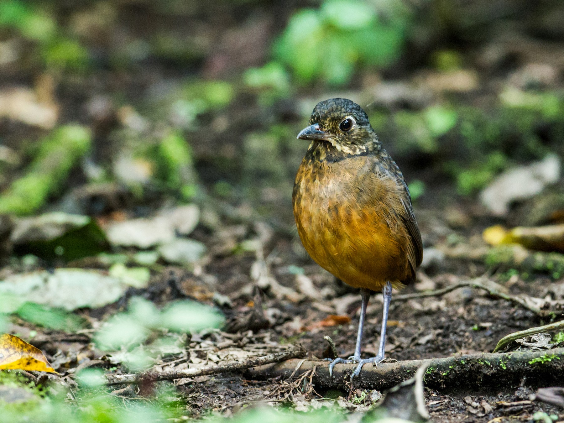 Scaled Antpitta - Nick Athanas
