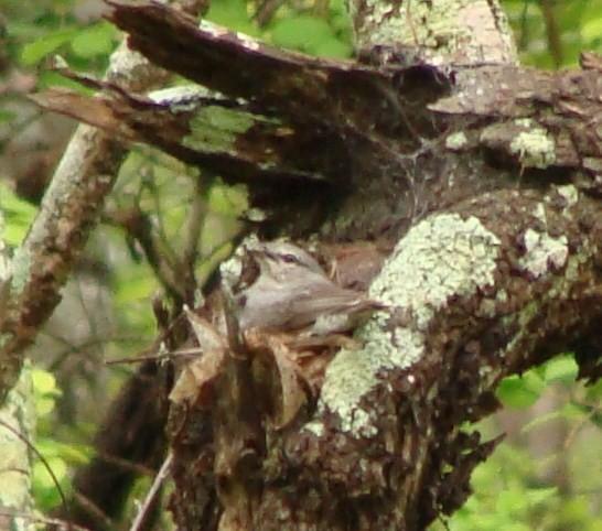 Ashy Flycatcher on nest.
