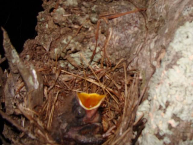Ashy Flycatcher nest with nestling.
