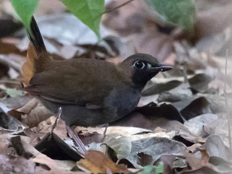 Black-faced Antthrush - Silvia Faustino Linhares
