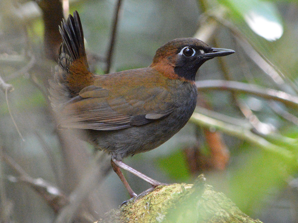 Black-faced Antthrush - Jorge Dangel