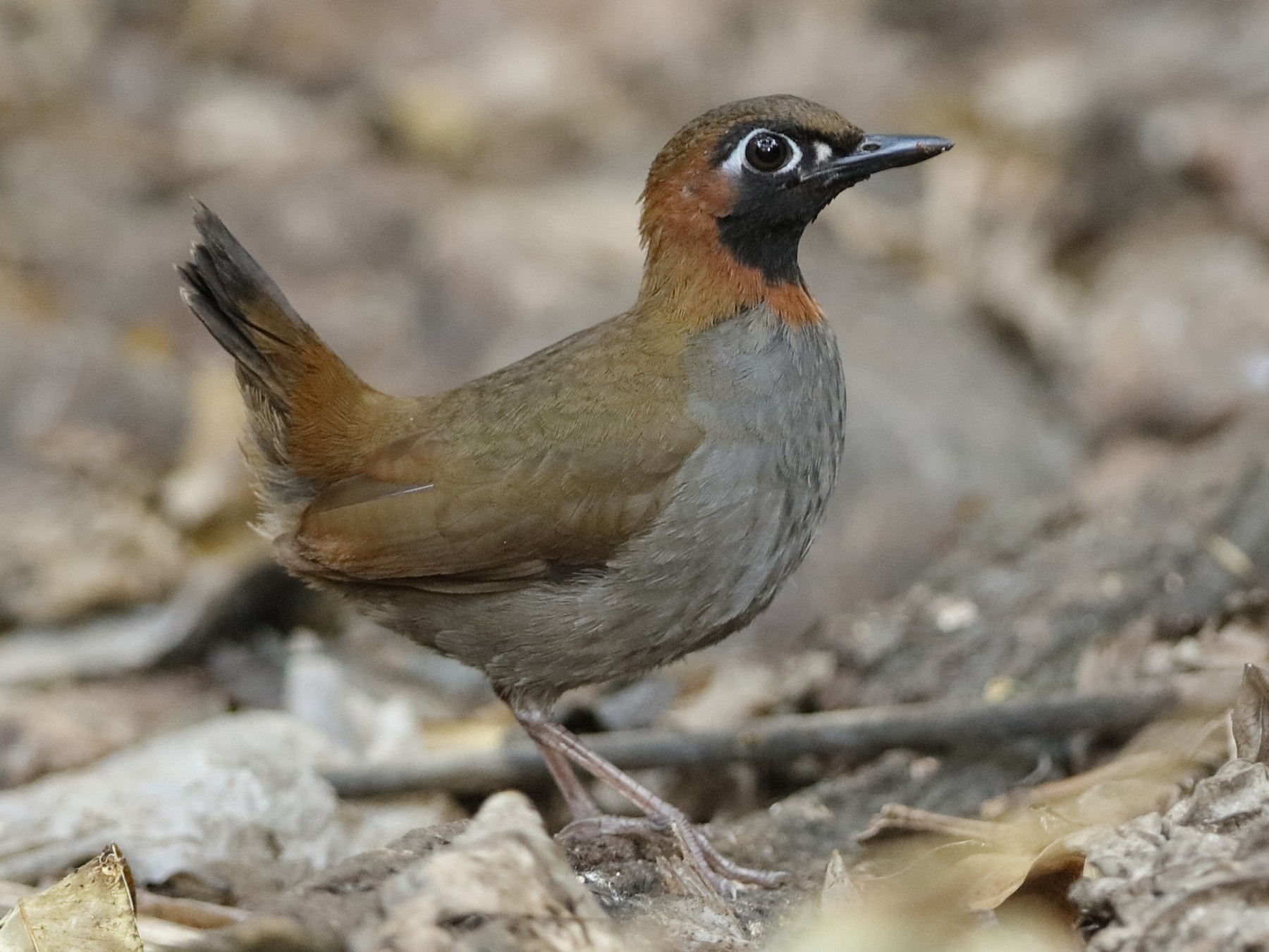 Black-faced Antthrush - Holger Teichmann
