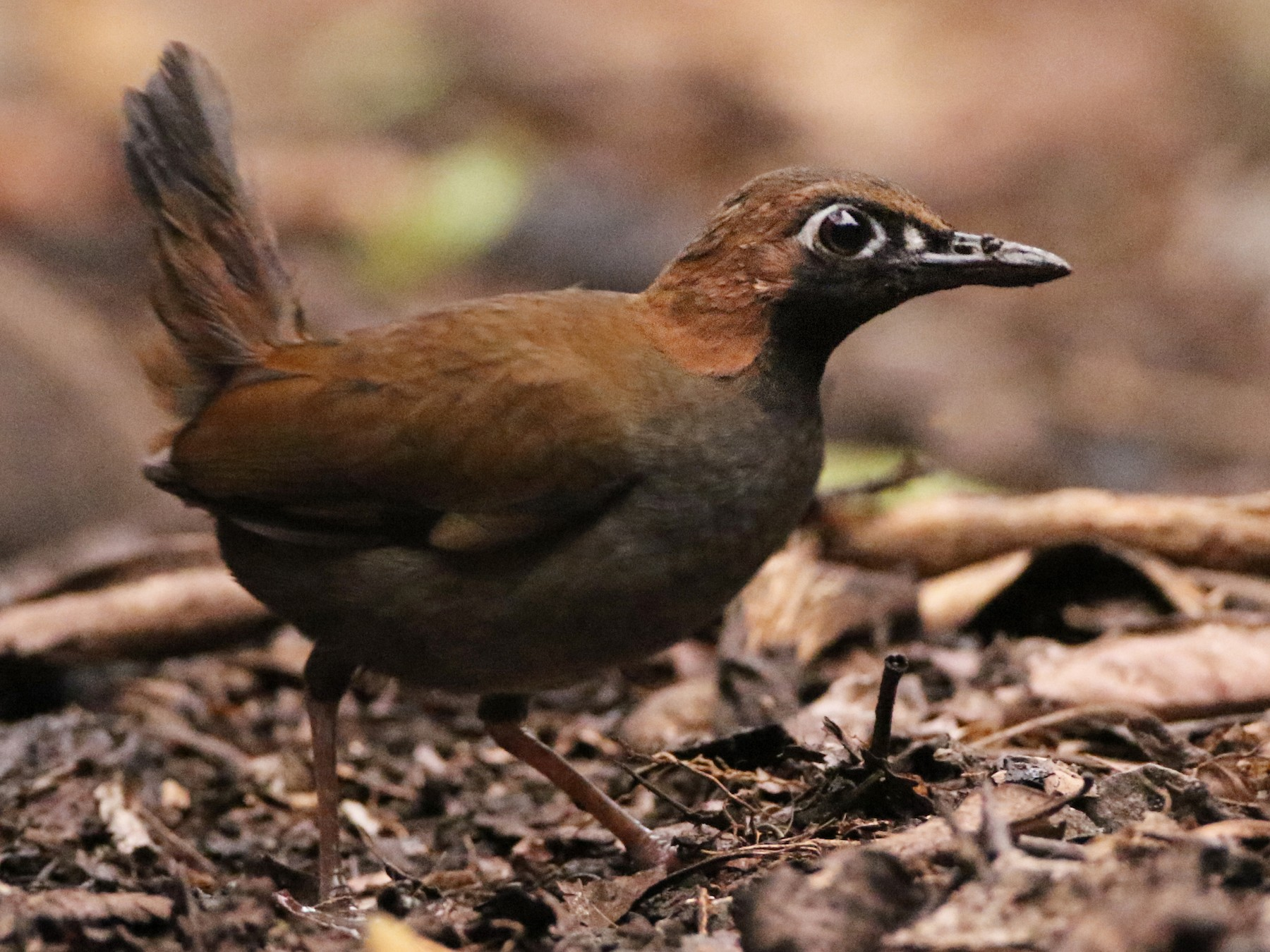 Black-faced Antthrush - Luke Seitz