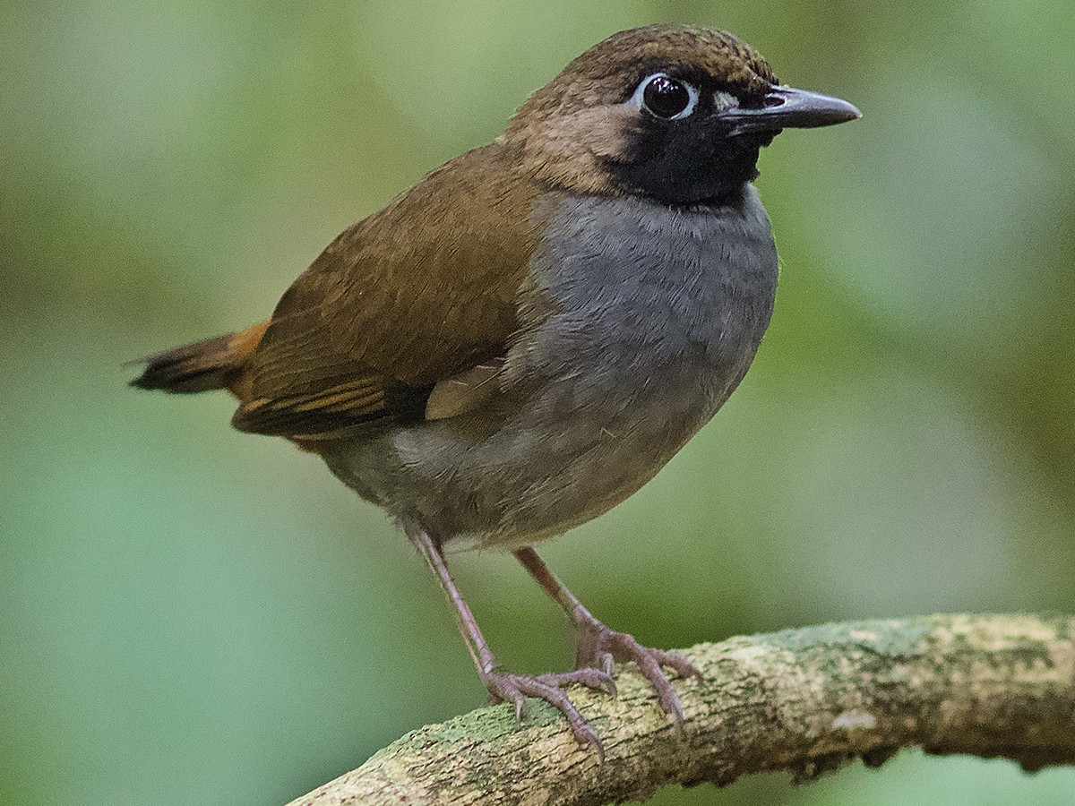 Black-faced Antthrush - Luiz Matos