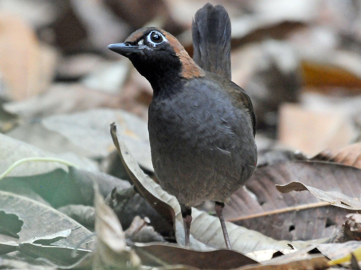 Black-faced Antthrush - Josanel Sugasti
