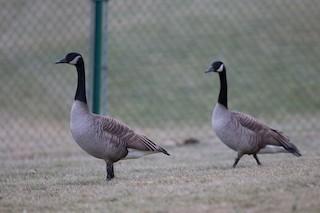 Canada Goose, ML238899681
