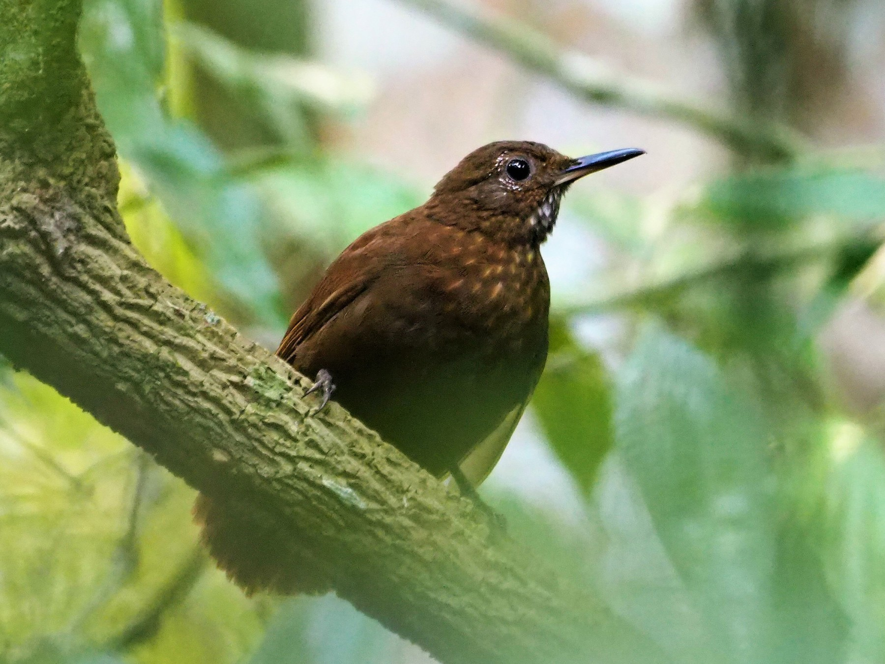 Scaly-throated Leaftosser - Daniel  Aldana