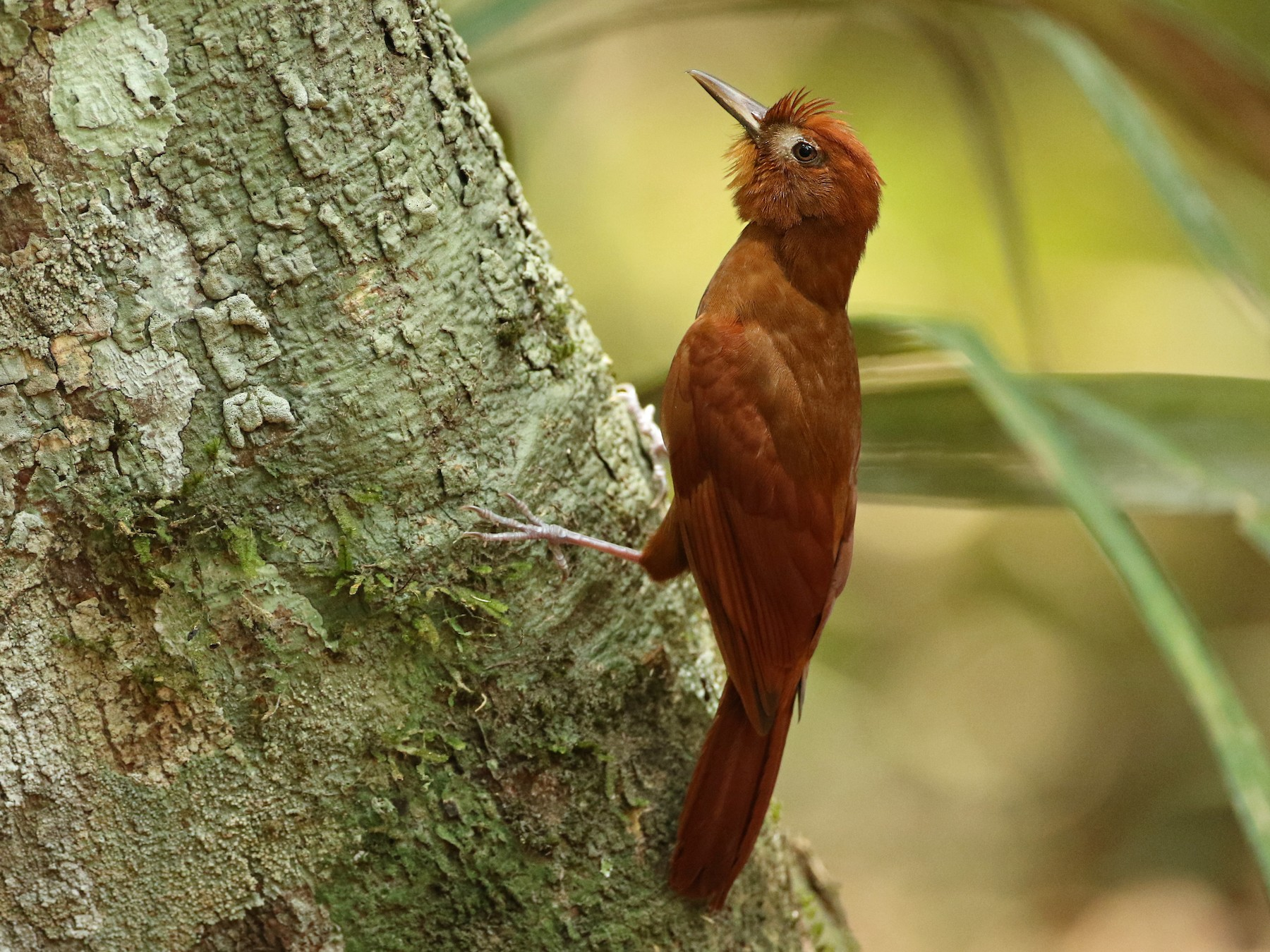 Ruddy Woodcreeper - Luke Seitz