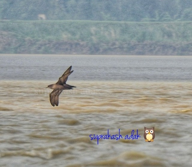 ©Suprakash Adak - Short-tailed Shearwater