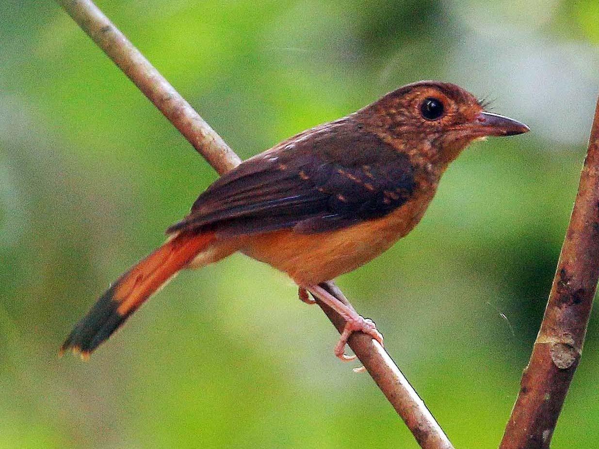 Rufous-tailed Shama - Neoh Hor Kee