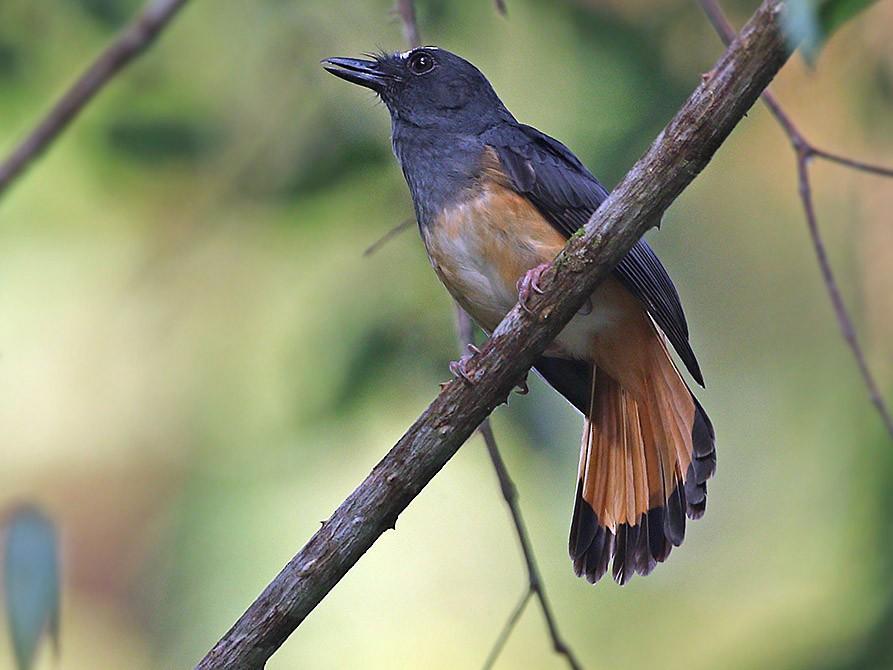 Rufous-tailed Shama - James Eaton