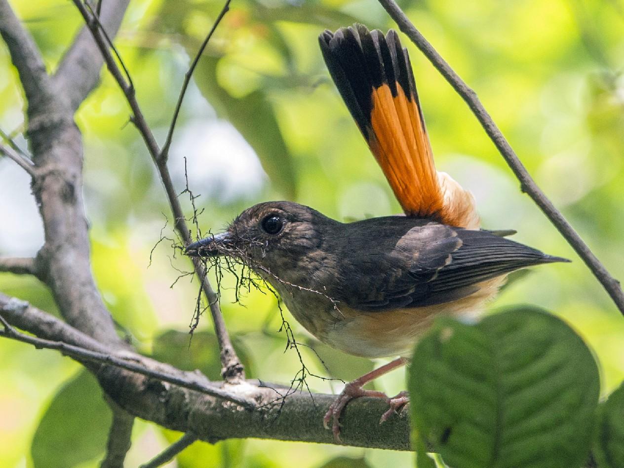 Rufous-tailed Shama - Thierry NOGARO