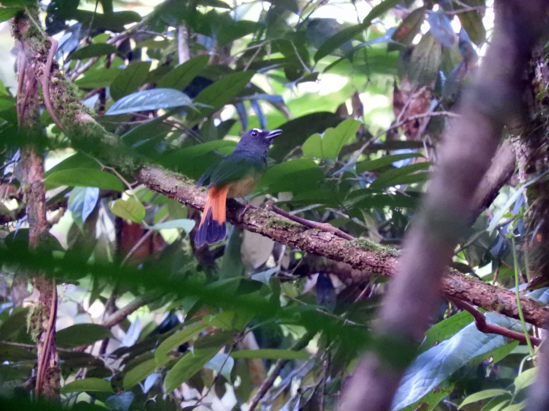 Rufous-tailed Shama - Oliver Tan