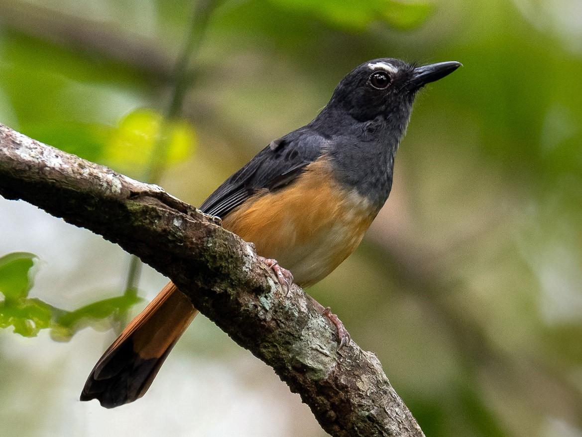 Rufous-tailed Shama - Leslie Loh