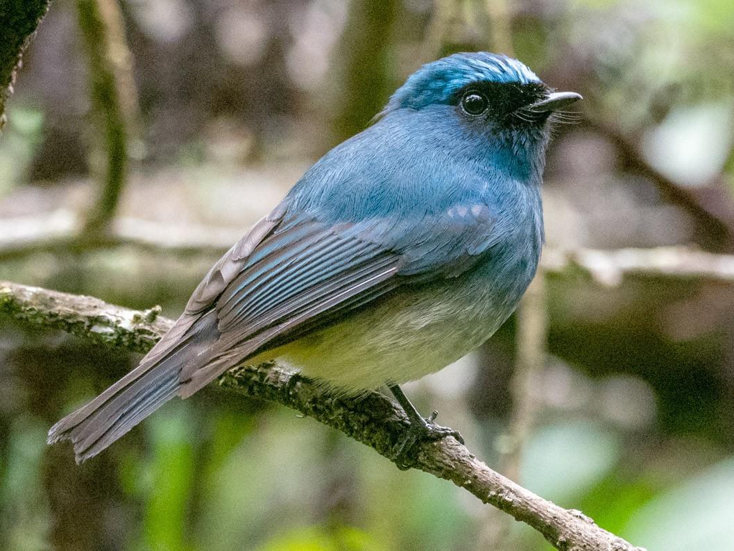 Indigo Flycatcher - Forest Jarvis