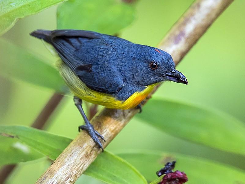 Yellow-rumped Flowerpecker - Matthew Kwan