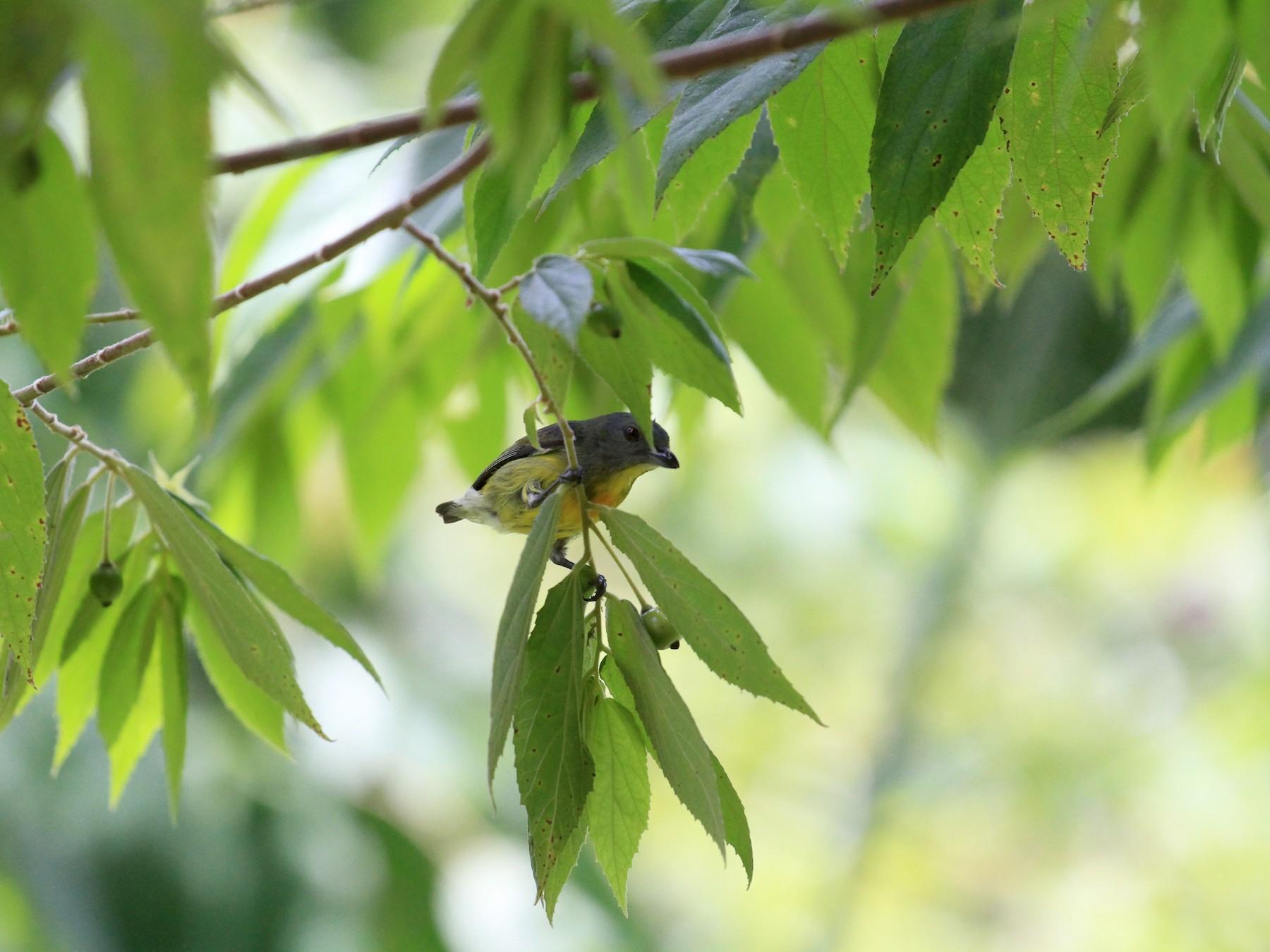 Yellow-rumped Flowerpecker - Paul Gössinger
