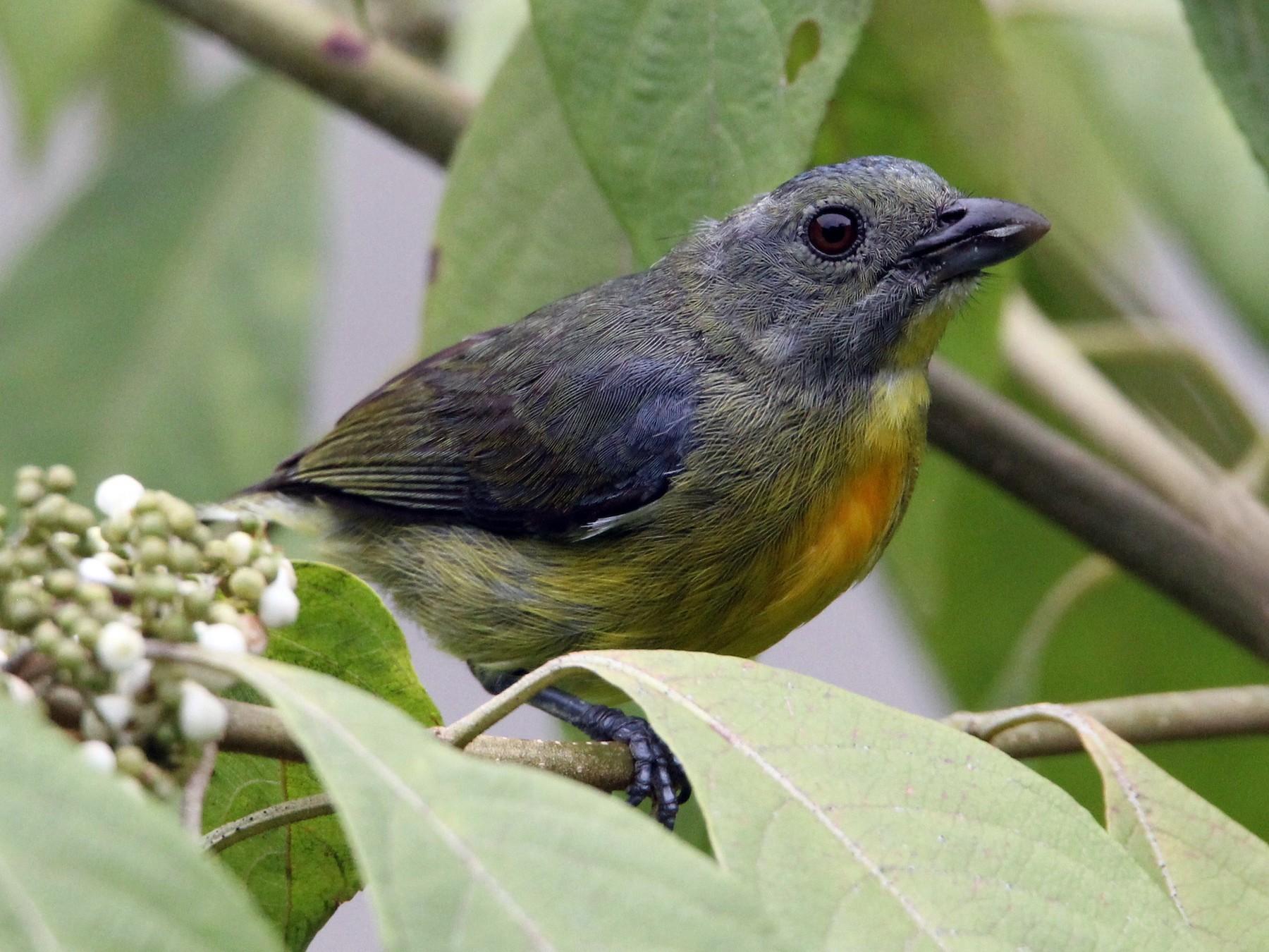Yellow-rumped Flowerpecker - Robert Gowan