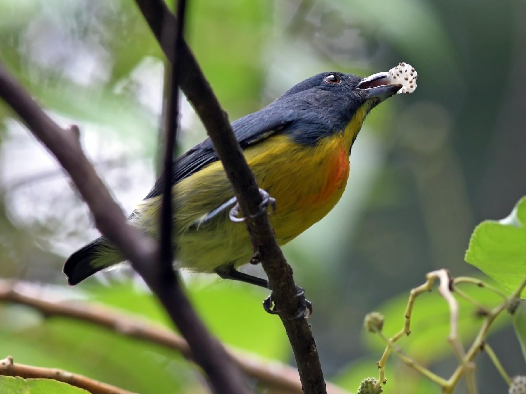 Yellow-rumped Flowerpecker - Joshua Vandermeulen