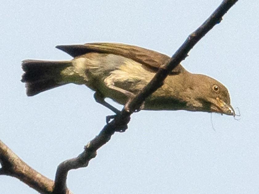 Brown-backed Flowerpecker - Leslie Loh