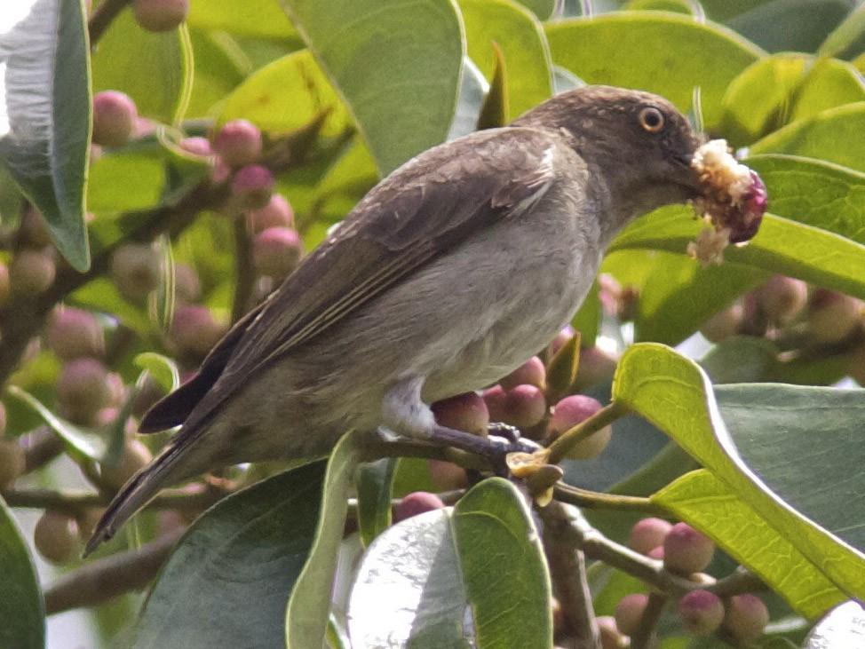 Brown-backed Flowerpecker - Ken Havard