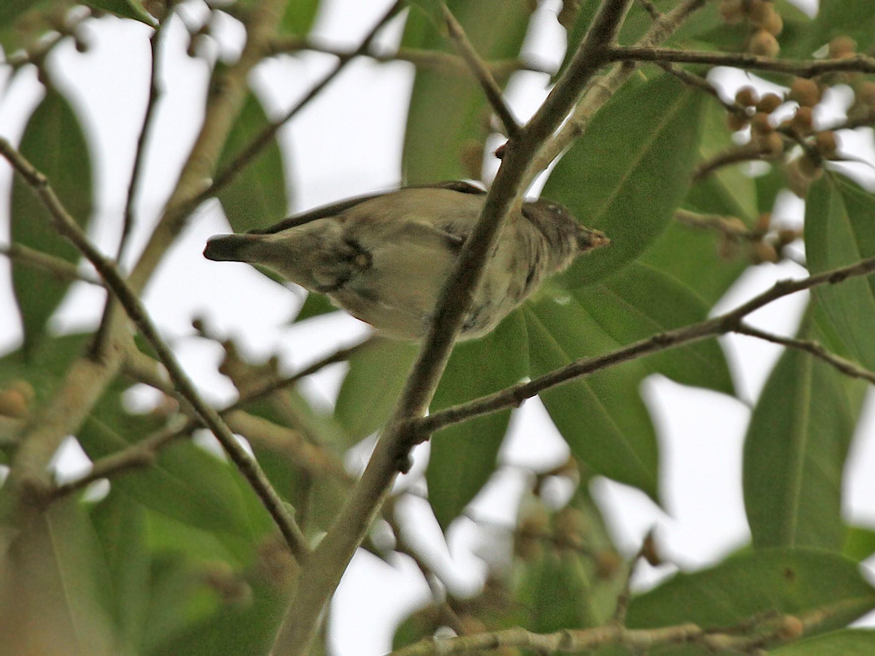 Brown-backed Flowerpecker - James Eaton