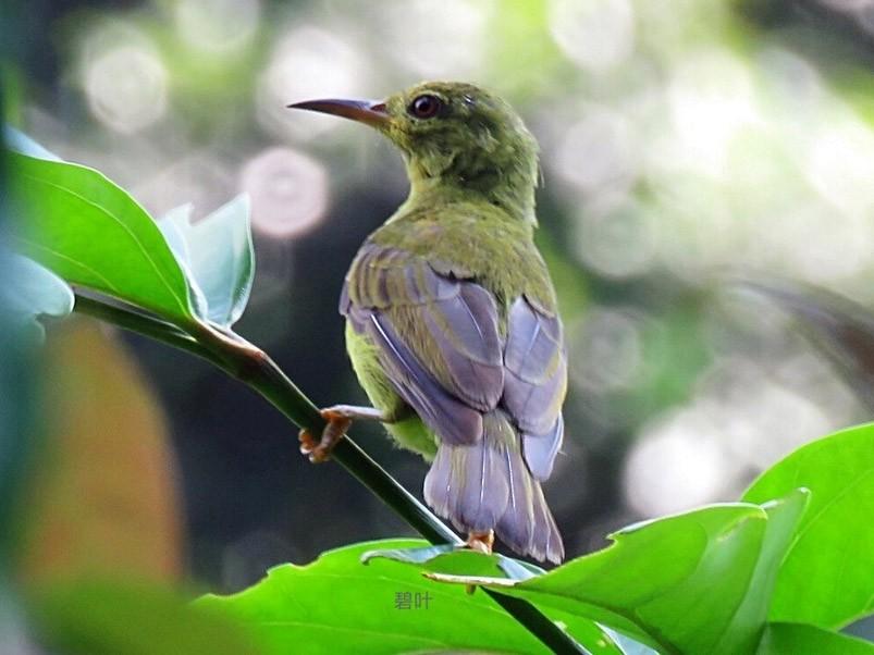 Brown-throated Sunbird - Angela Christine Chua