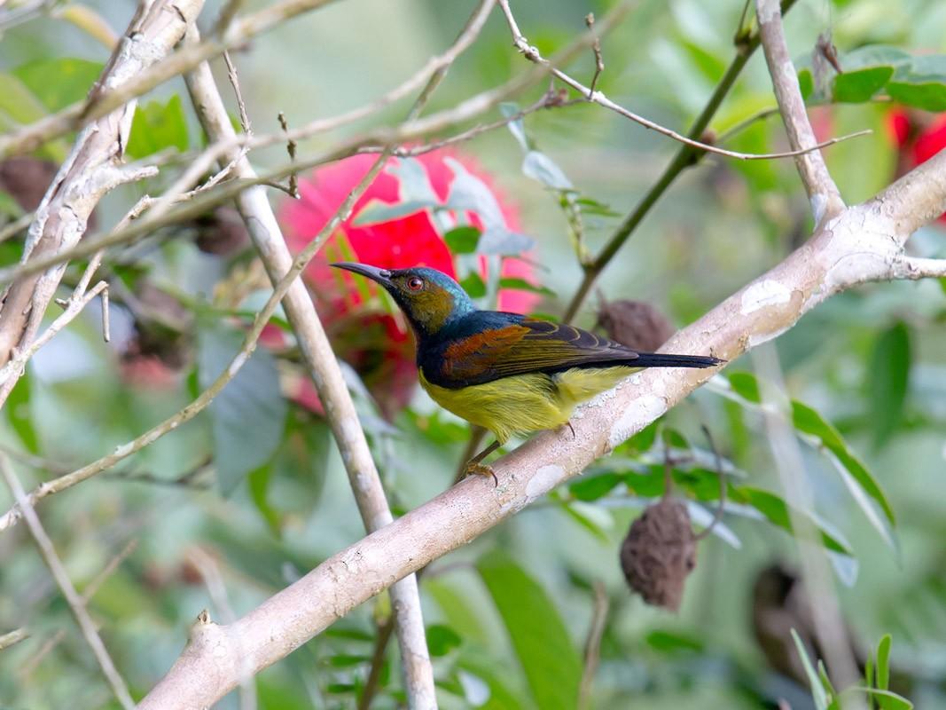 Brown-throated Sunbird - Craig Brelsford