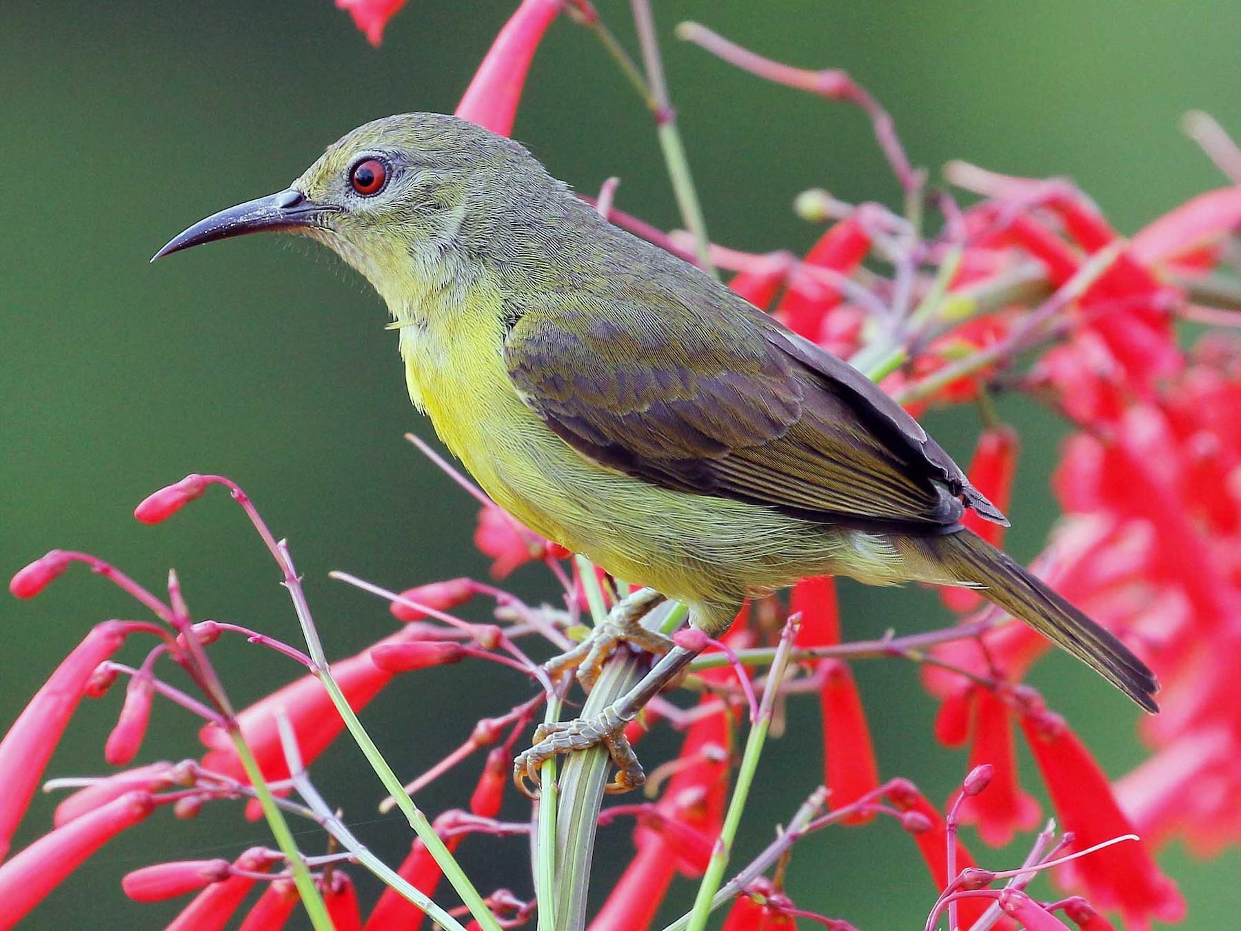 Brown-throated Sunbird - Neoh Hor Kee
