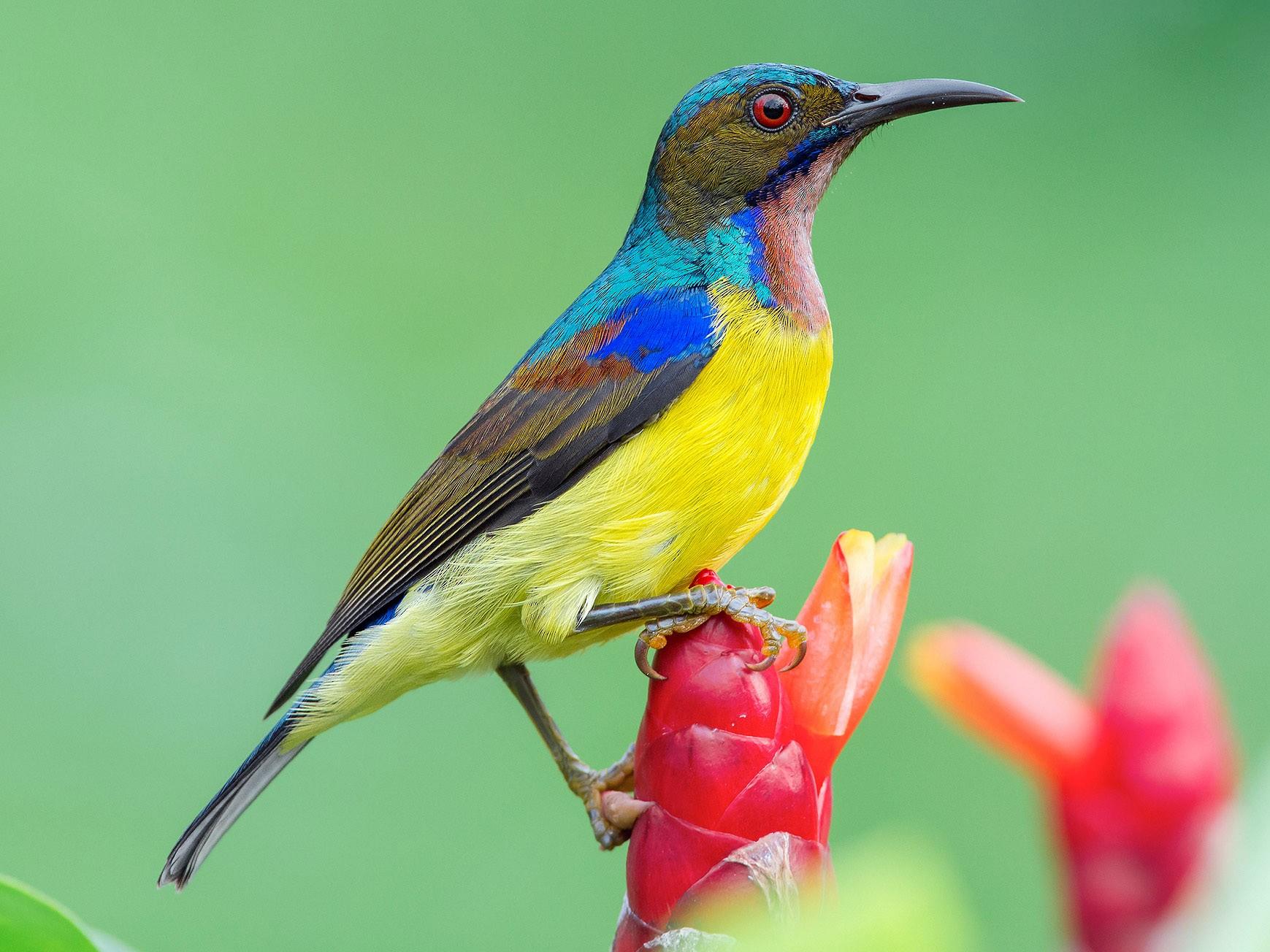 Brown-throated Sunbird - Natthaphat Chotjuckdikul