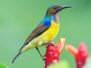 - Brown-throated Sunbird