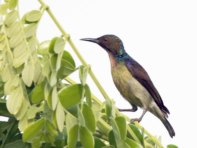 Brown-throated Sunbird - Frédéric PELSY